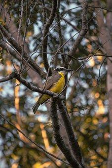 Lesser Kiskadee, Bird, Animal, Passerine Bird, Wildlife