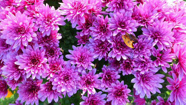 Chrysanthemums, Flowers, Garden, Blossom, Bloom, Flora