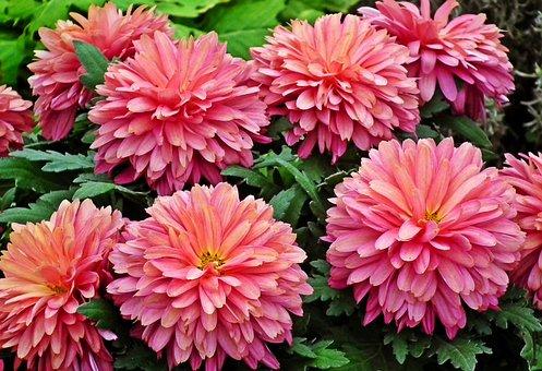 Flowerss, Chrysanthemums, Pink Flowers, Bloom, Blossom