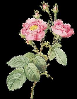 Peony, Flowers, Plant, Buds, Pink Flowers, Stem, Leaves