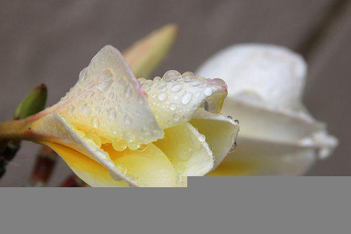 Frangipani, Flower, Dew, Petals, Dewdrops, Droplets
