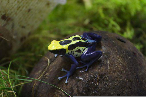 Dyeing Dart Frog, Frog, Animal, Dyeing Poison Dart Frog