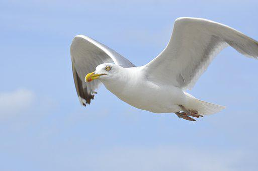 Gull, Bird, Flying, European Herring Gull, Herring Gull