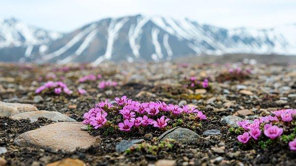 Flowers, Moss, Rocks, Ground, Mountain, Snow, Wild