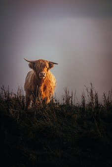 Highland Cow, Cow, Animal, Cattle, Highland Cattle