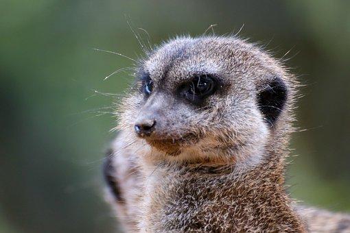 Meerkat, Animal, Zoo, Suricate, Mammal, Wildlife, Fauna