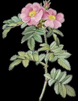 Prairie Rose, Flowers, Plant, Pink Flowers, Stem