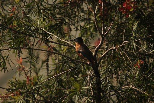 Rufous Sibia, Bird, Tree, Animal, Wildlife, Fauna