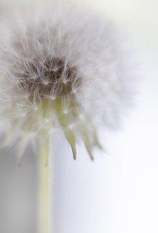 Dandelion, Plant, Seed Head, Blowball