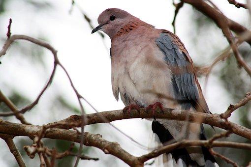 Laughing Dove, Bird, Animal, Pigeon, Wildlife, Fauna