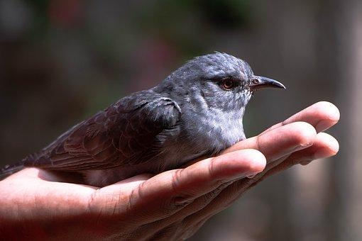 Bird, Hand, Rescue, Blue Rock Thrush, Young Bird