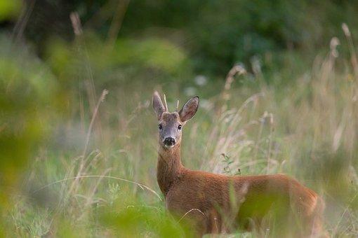 Deer, Roe, Ruminant, Mammal, Animal, Hoofed Ruminant