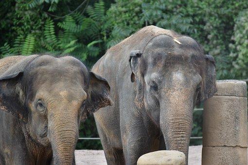 Elephants, Pair, Large, Animals, Large Animals, Mammals