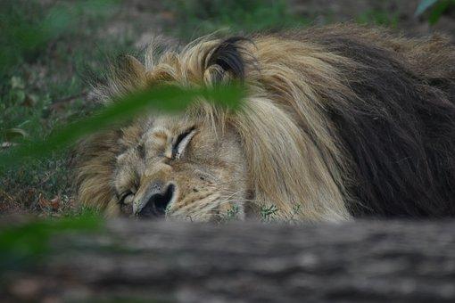 Lion, Sleep, King, Sleeping, Asleep, Big Cat, Wild Cat