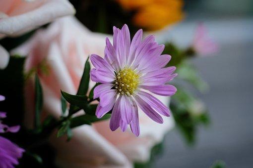 Asteraceae, Aster, Flower, Bloom, Blossom