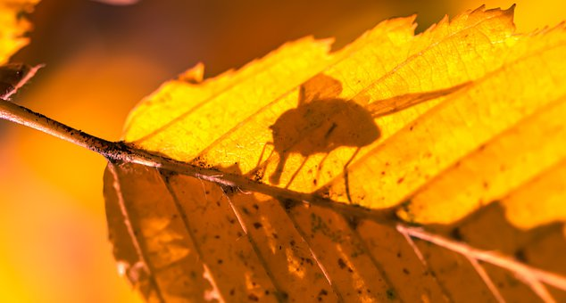 Leaf, Autumn, Shadow, Fly, Insect, Autumn Leaf