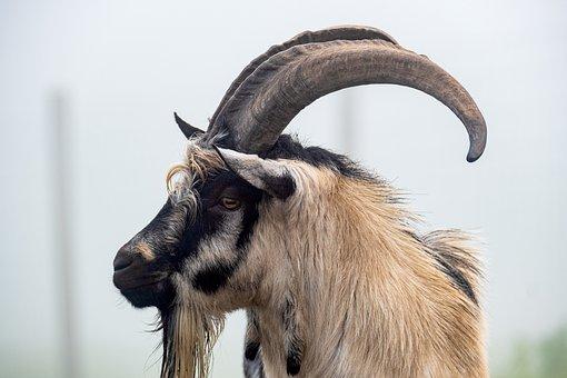 Goat, Billy Goat, Dutch Goat, Animal, Cattle, Horns