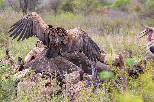 Vultures, Birds, Wings, Feathers, Bird Of Prey