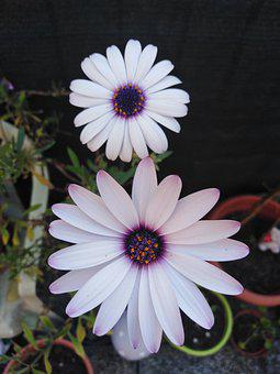 Cape Marguerite, Flowers, Plant, Dimorphotheca