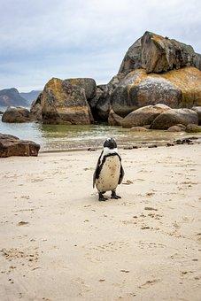 Cape Town, Boulder Beach, Penguin, Africa