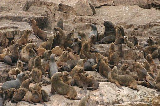 Sea Lions, Ocean, Bay, Sea, Beach, Cologne, Animals