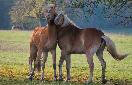 Horses, Equestrian, Equine, Couple, Pasture, Haflinger