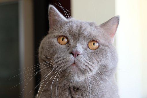 Cat, Pet, Cat's Eyes, Whiskers, Domestic, Feline, Cute