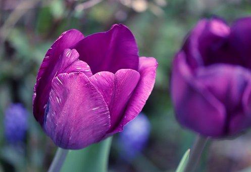 Tulip, Flower, Petals, Purple Tulip, Purple Petals