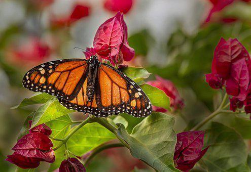 Plain Tiger, Butterfly, Flowers, Pollination, Pollinate