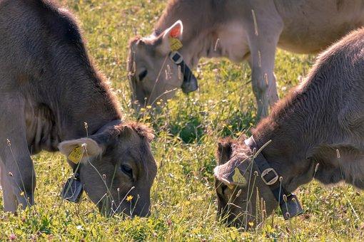 Cows, Pasture, Graze, Grazing, Grass, Cow Bells, Meadow