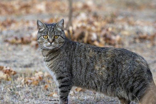 Cat, Kitty, Portrait, Feline, Tabby, Gray Tabby
