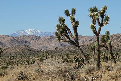 Joshua Tree, Trees, Mountains, Landscape, Yucca