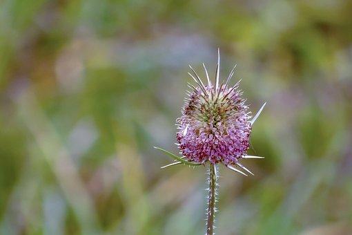 Flower, Mácsonya, Wildflower, Inflorescence, Meadow