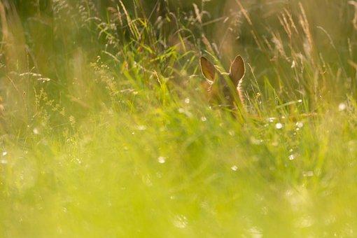 Summer, Mountain, Roe, Prato, Nature, Mammal, Wild