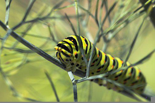 Caterpillar, Dovetail, Branch, Plants, Insect, Bug