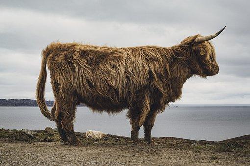 Highland, Cow, Animal, Horns, Shaggy, Cattle, Scotland