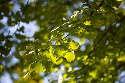 Leaves, Foliage, Trees, Branches, Ginkgo, Wanxiang Park