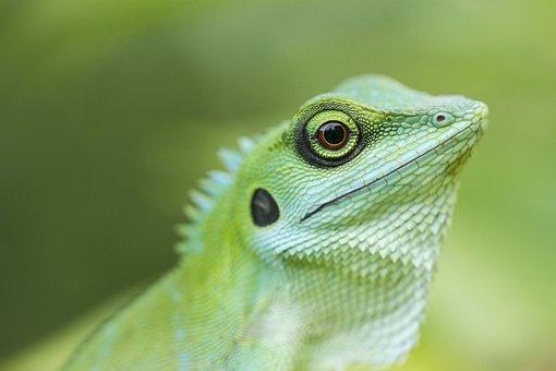 Green Crested Lizard, Reptile, Animal, Lizard, Wildlife