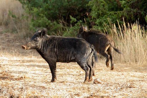 Warthog, Phacochoerus, Wild, Wildlife, Animals, Africa