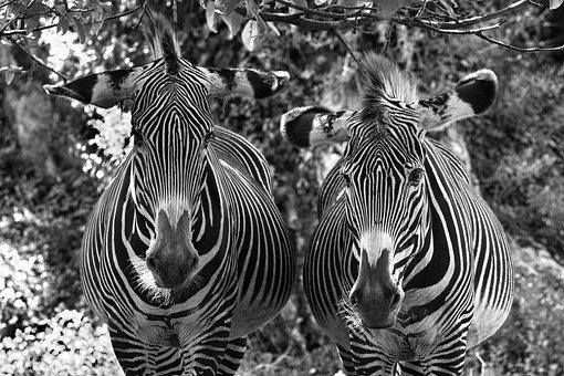 Zebras, Animals, Zoo, Equines, African Equines, Mammals