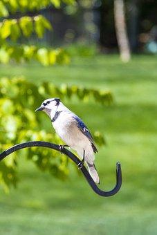 Birds, Blue Jay, Avian, Animal, Fauna, Perched, Audubon
