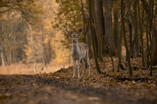 Fallow Deer, Animal, Forest, Deer, Antlers, Male Deer