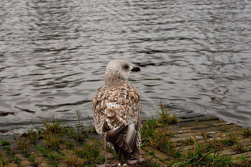 Seagull, Bird, Water, Lake, Feathers, Plumage, Ave
