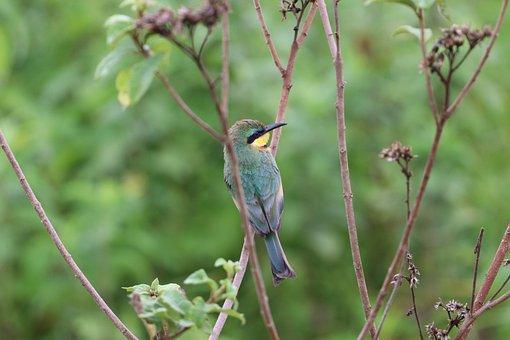 Somali Bee-eater, Bird, Plant, Animal, Wildlife, Fauna