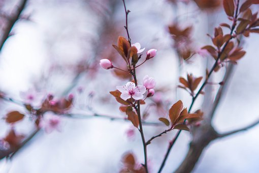 Cherry Blossom, Flowers, Tree, Buds, Branch