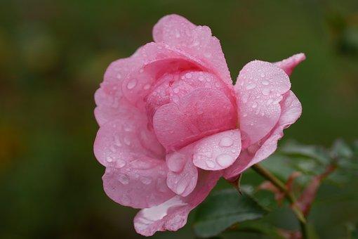 Camellia, Flower, Droplets, Petals, Dew, Dewdrops