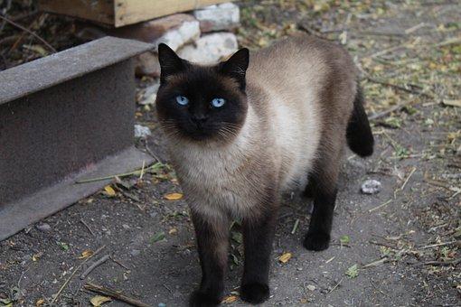 Siamese Cat, Cat, Pet, Animal, Domestic Cat, Feline