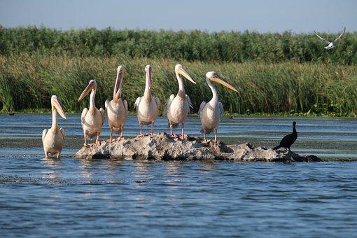 Great White Pelicans, Birds, Group, Flock, Pod