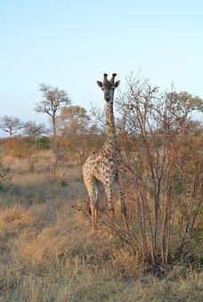 Giraffe, Long-necked, Ossicone, Artiodactyl, Ruminant