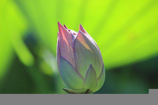Lotus, Flower, Bud, Water Lily, Bloom, Blossom